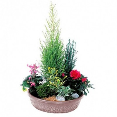 Plante de deuil olympe